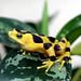 Panamanian Golden Frog #1