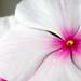 04-24-11 - Pink Eye Flower Close Up