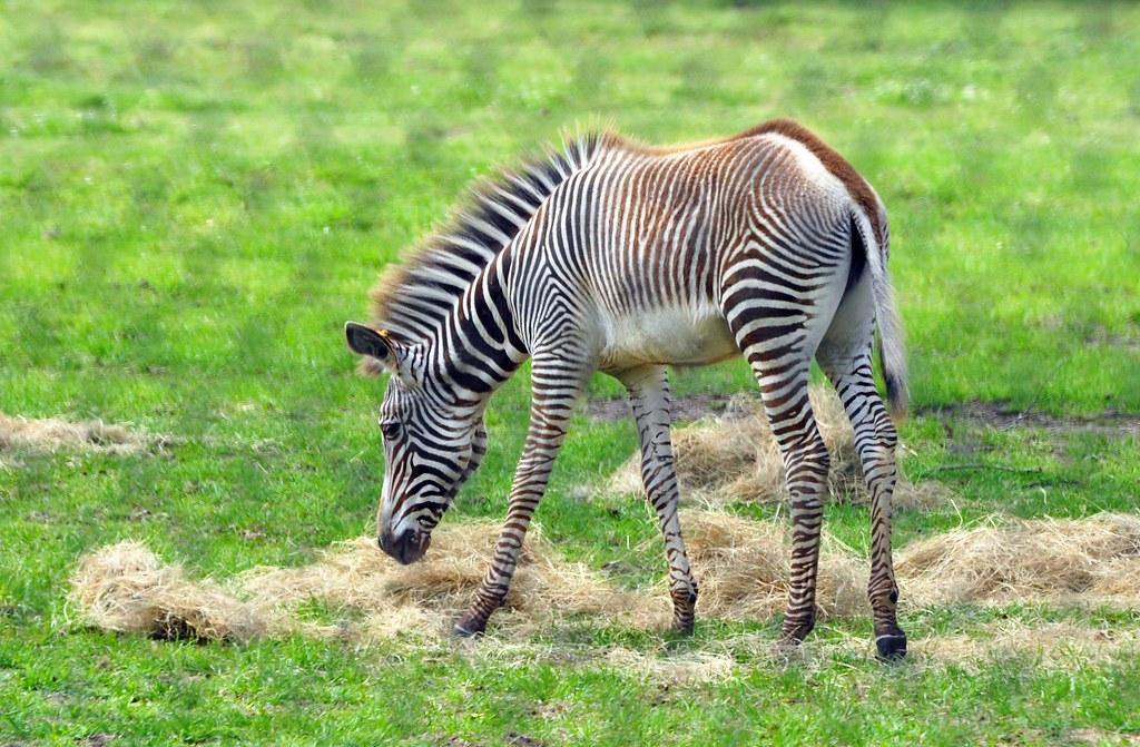 Zebra Scientific Name Hey there baby! | Grev...