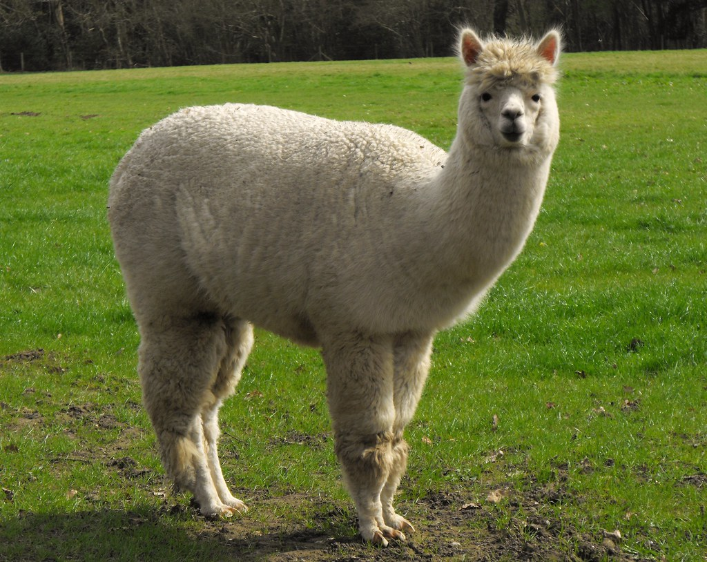 alpaca vicugna pacos taken in mill lane hampshire i