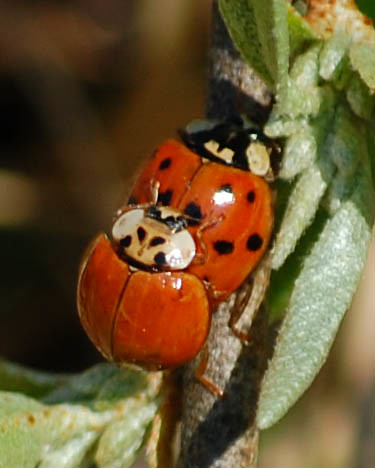 Harmonia axyridis, Mulitcolored Asian Lady Beetles | by sheryl2010