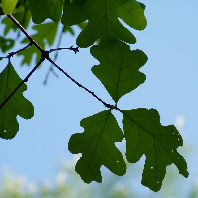 White Oak Leaves Flickr Photo Sharing White Oak Leaf