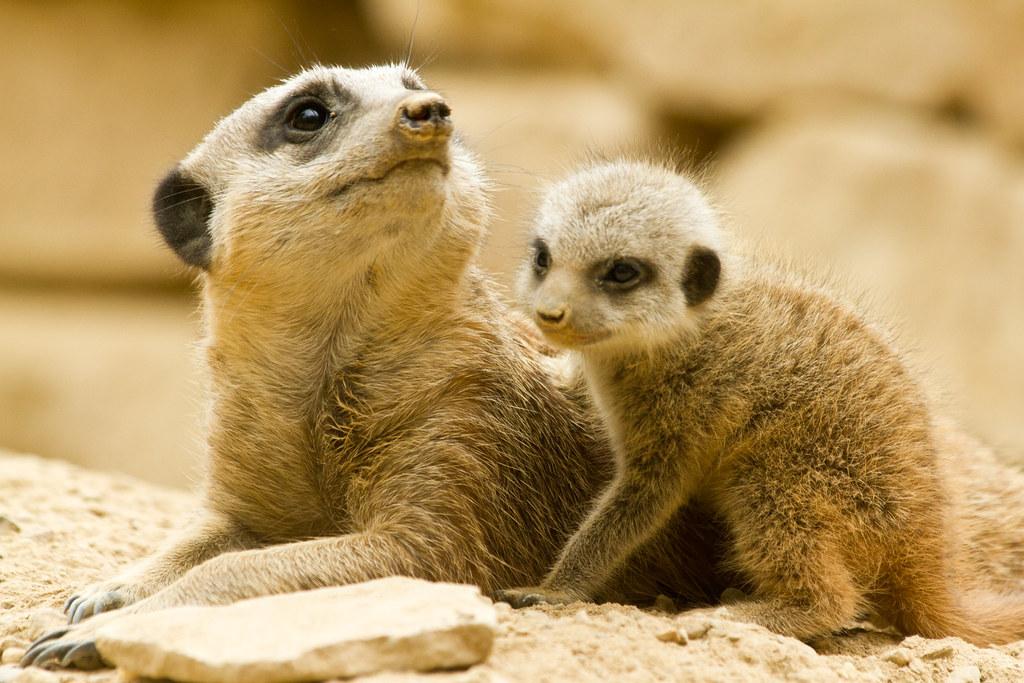Meerkat Babies The Meerkats At Tropical World In Leeds