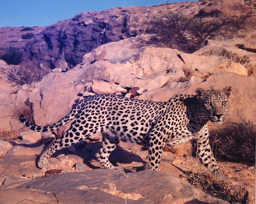 White Land Rover >> Arabian Leopard | The Oman expedition search for leopard ...