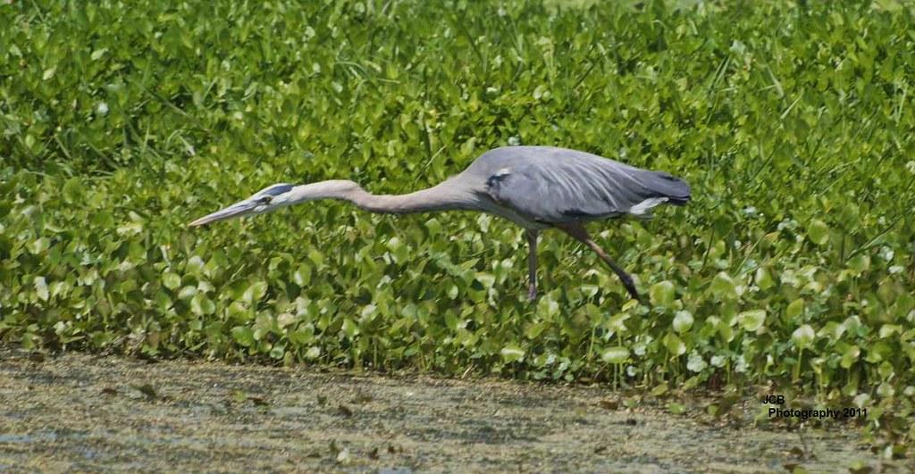 04 17 2011 cbbr lakeland fl this great blue heron was