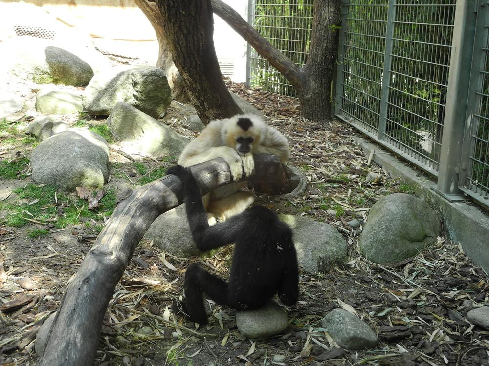 hylobatidae sp gibbons zoo de mulhouse thomas bresson flickr. Black Bedroom Furniture Sets. Home Design Ideas