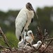Wood stork parent with two chicks