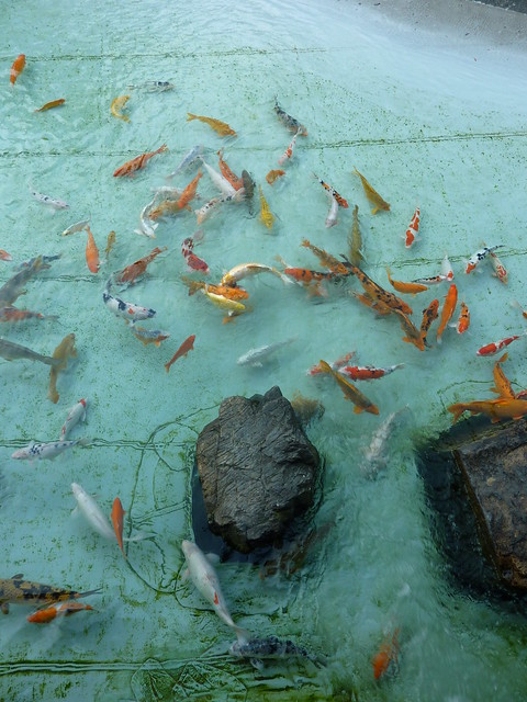 Koi carp pool flickr photo sharing for Koi carp pool design