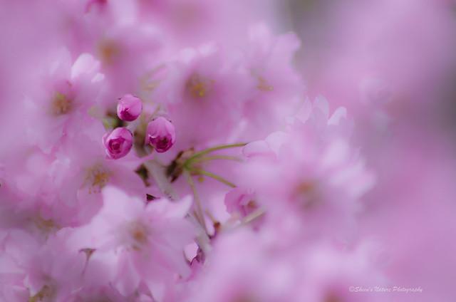 Cherry Blossom Breeze