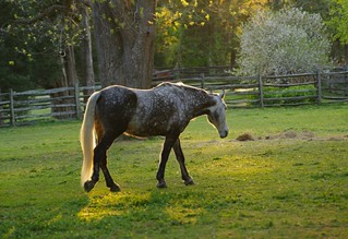 Colonial Williamsburg horse at sunset | by mtkams