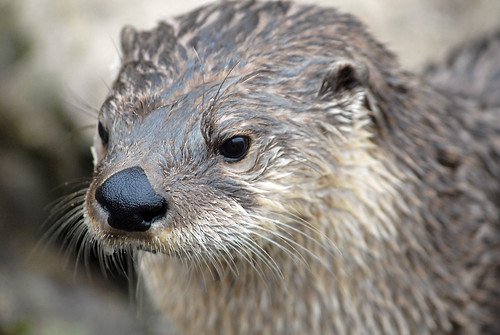 North American River Otter - CNP_3361 | by Chris Paul Photography
