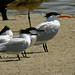 Sandwich Terns with Royal Tern 0370