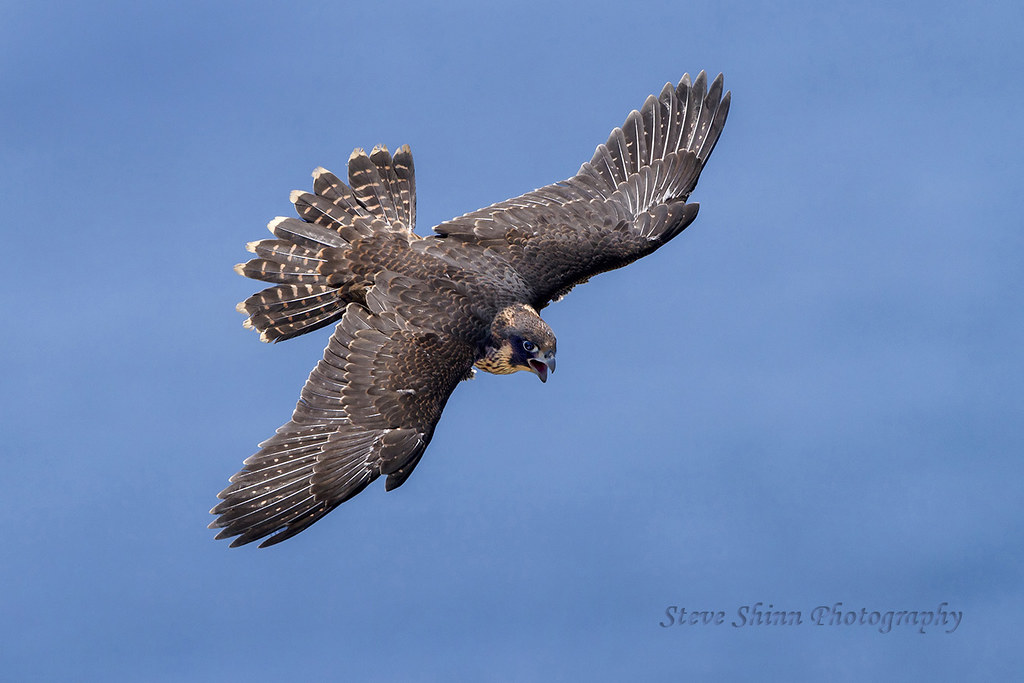 Peregrine Falcon flying over ocean using alula and full ex ...