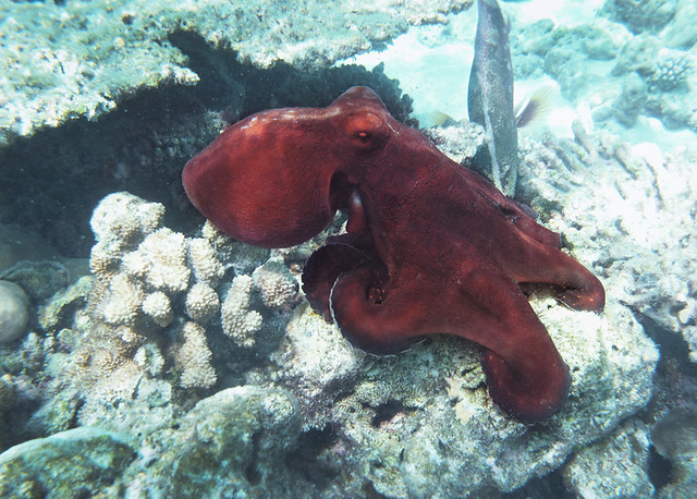 Octopus underwater photoUnderwater Octopus