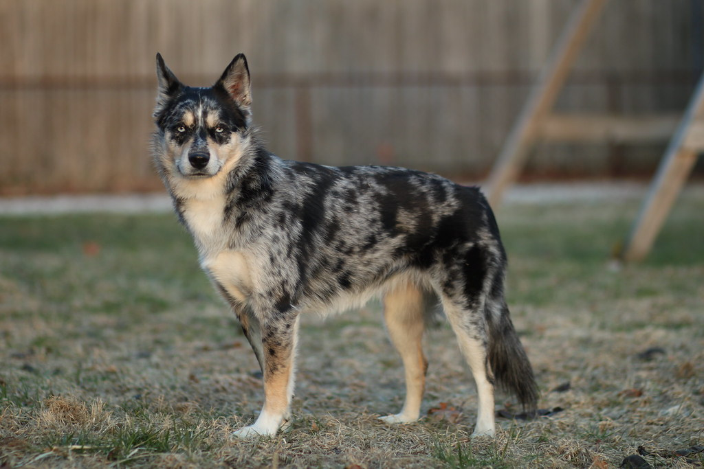 skimo the aussie x husky mix please do not claim this as