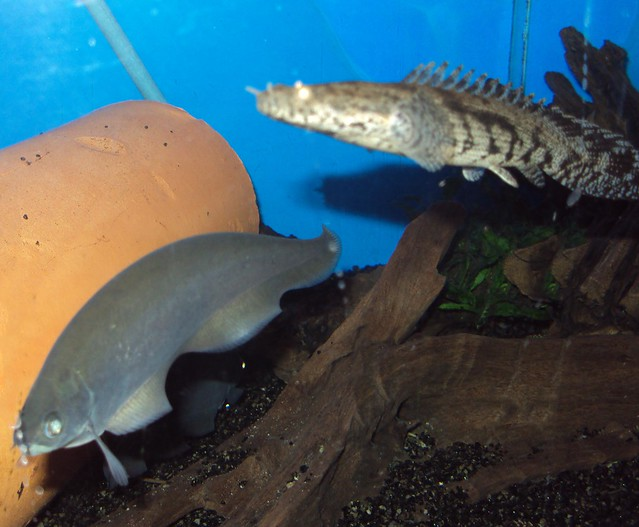 african knife fish and mr.cherry (polypterus endelcheri) Flickr ...