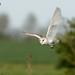 Barn Owl, Tyto alba, in flight hunting.