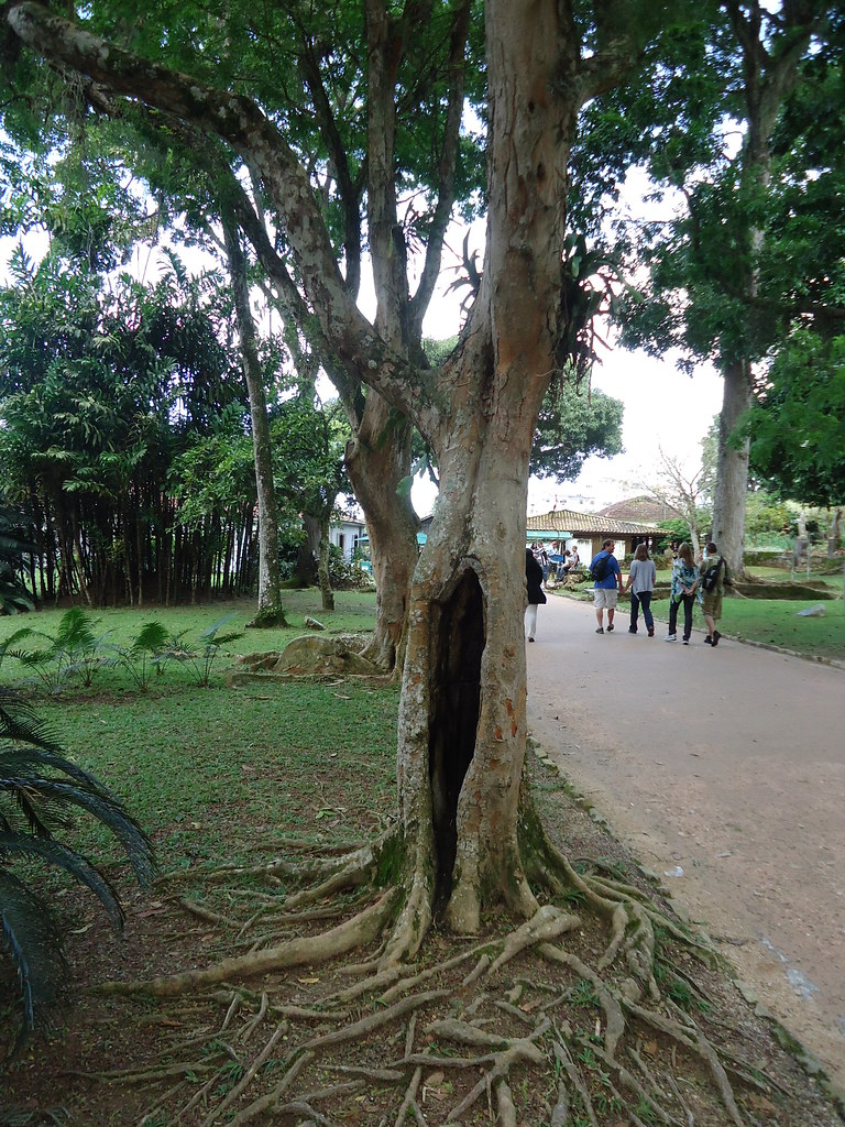 Brazil Wood Tree Photos From Our Periodic Table Of