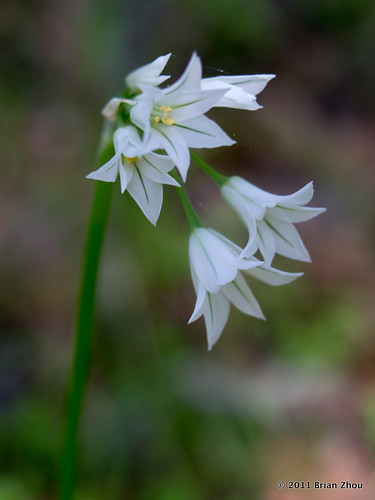 Wildflower - White Brodiaea | by B Zhou