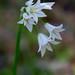 Wildflower - White Brodiaea