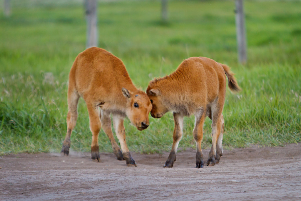Baby Bison Twins Playing Together Wild Twin Bison