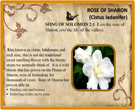 Rose of Sharon Essential Oil | Sponsor ID 1069994 | Cistus (… | Flickr