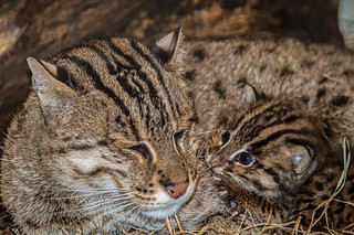 Fishing Cats Born at the Smithsonian's National Zoo | by Smithsonian's National Zoo