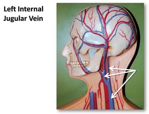Left internal jugular vein anatomy