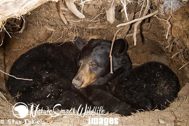 Black Bear in den hibernating Tekiela TAN0703   Black Bear ...