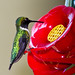 hummingbird sitting