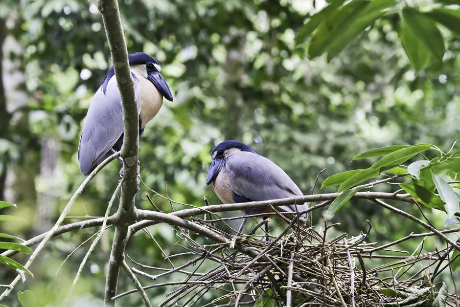 Broad Billed Heron Broad-billed Heron