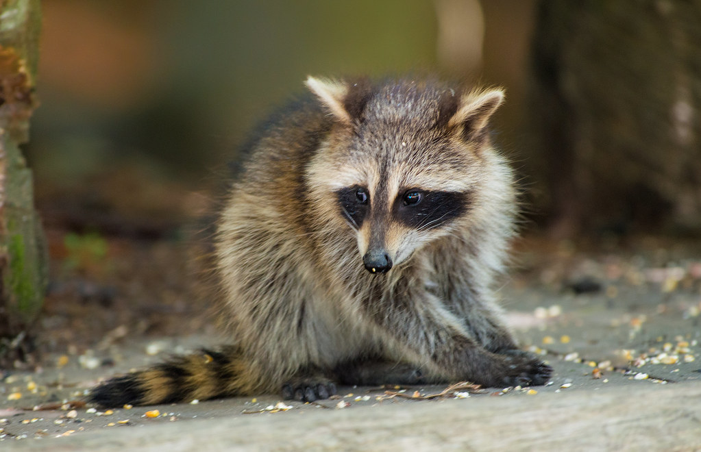 free hq baby raccoon - photo #12