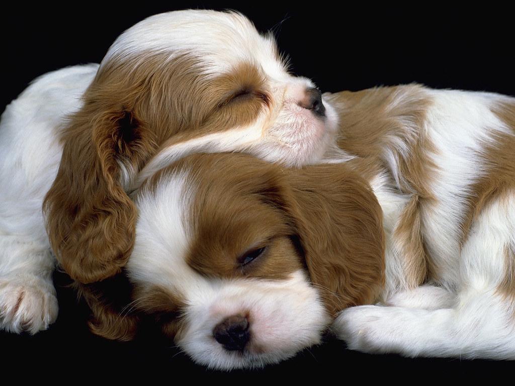 King Charles Spaniel Puppy Images King Charles Spaniel