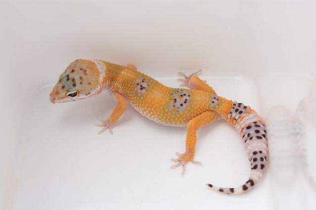 Leopard gecko: super hypo tangerine Ct   Flickr - Photo ...
