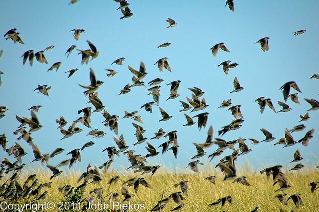 Flock Of Swallows On Chappaquiddick Flickr Photo Sharing