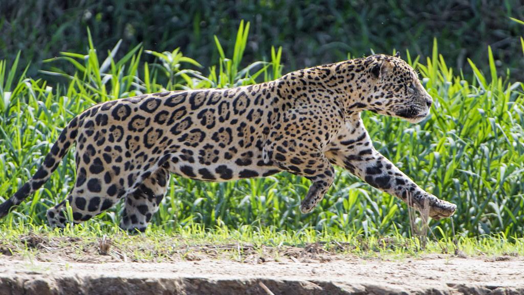 jaguar running