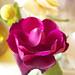 Compai_roses4