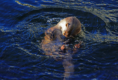 Otter fishing | by lakeslover2010