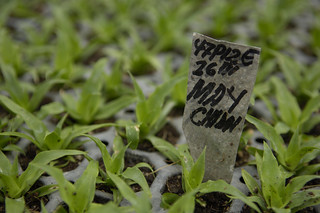 Pineapple seedlings grow in the nursery at Bomart Farms | by World Bank Photo Collection