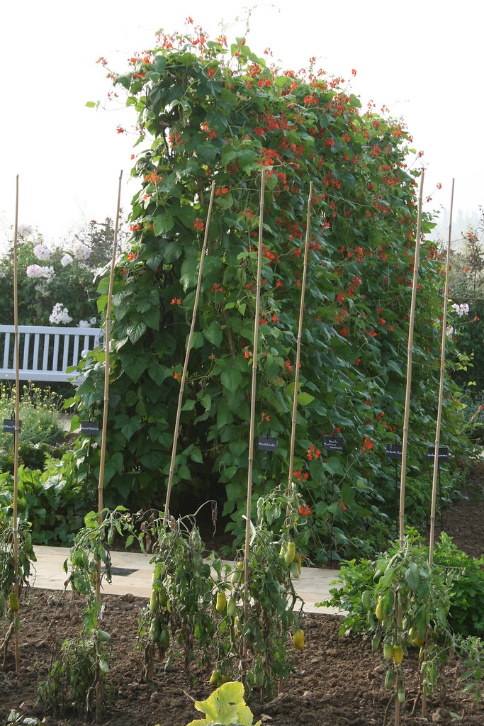 Haricot d 39 espagne rame 39 goliath 39 jardins fruitiers de - Haricot a rame ...