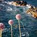 Fiori, Isole Sanguinarie, Ajaccio, Corsica del Sud, Corsica, Francia