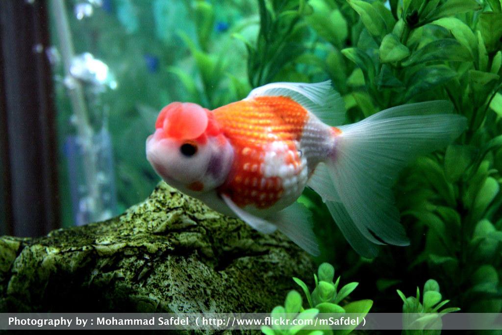 Crown Pearlscale Goldfish
