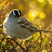 Backlit white-crowned sparrow