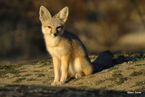 Foxes in the desert - photo#18