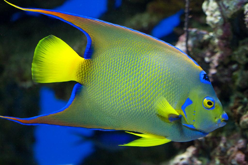 Queen angelfish nathan rupert flickr for Queen angel fish