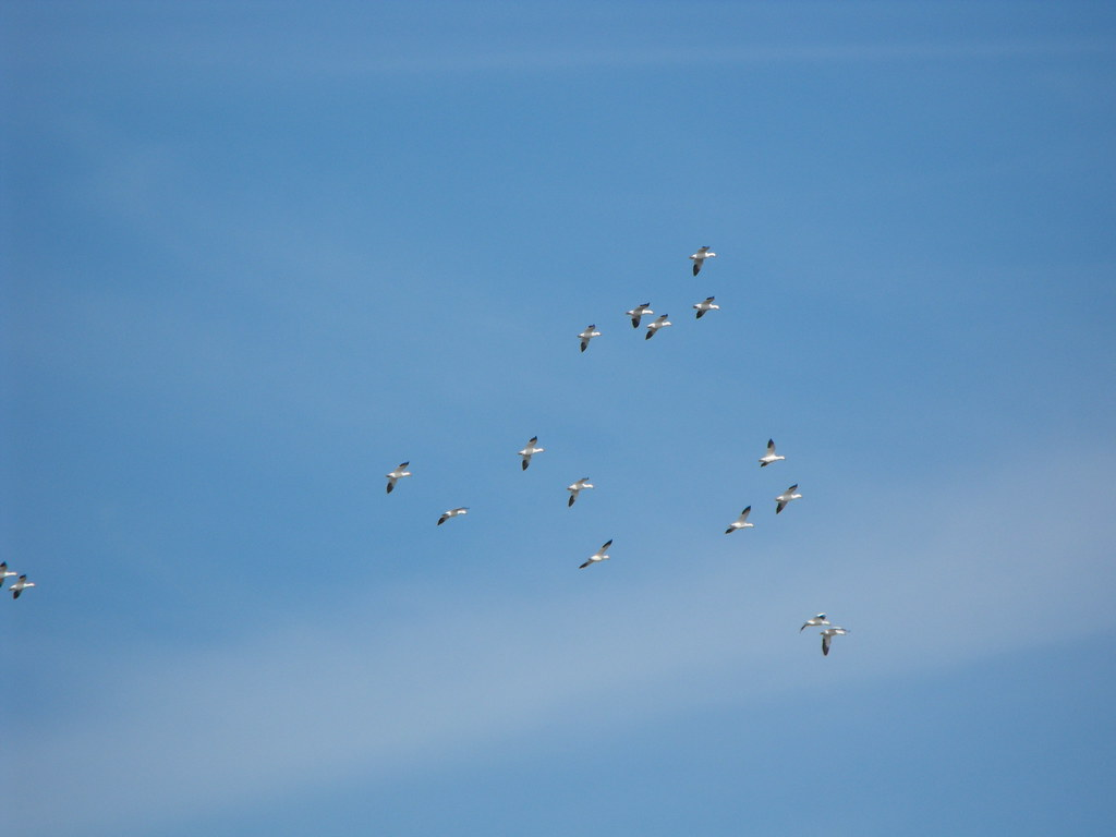 Snow geese migration | Snow geese coming in for a landing on ...