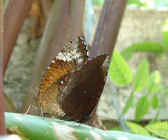 008. Common Palmfly mating  in my butterfly garden