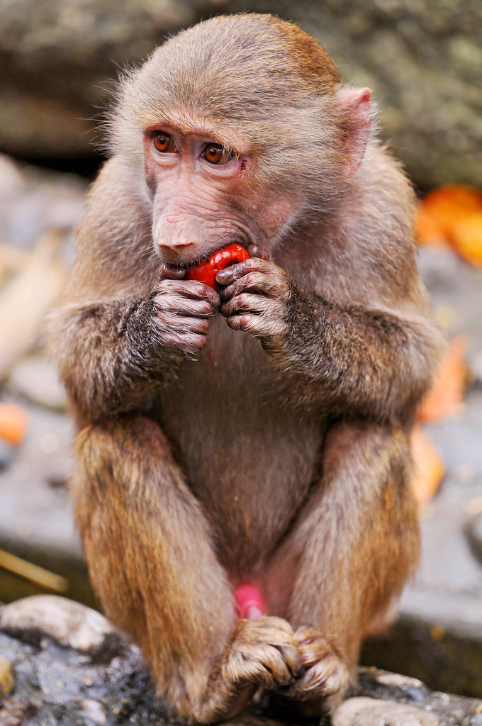A Baboons But Young baboon eating a ...