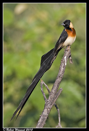 Long-tailed Paradise Whydah | by Robert Wienand - www.krugerparksafari.com