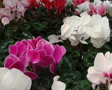 flowering house plants cyclamen by starting a garden - Flowering House Plants Identification